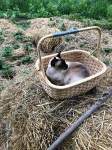 siamese cat in a basket on a bale of hay in a garden